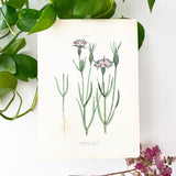Farm Weeds 1906 Botanical Book Plate 14