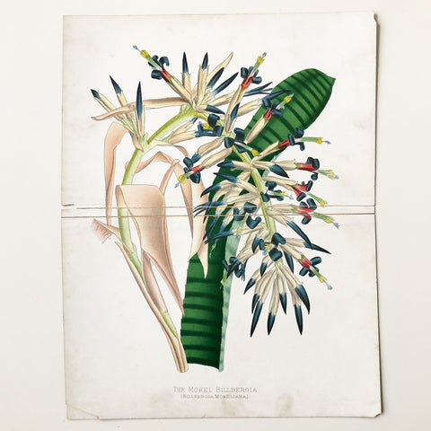 The Morel Billbergia 1840s Botanical Book Plate