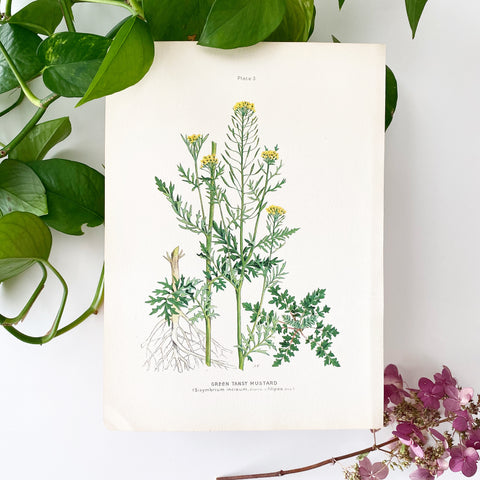 Farm Weeds 1906 Botanical Book Plate 3
