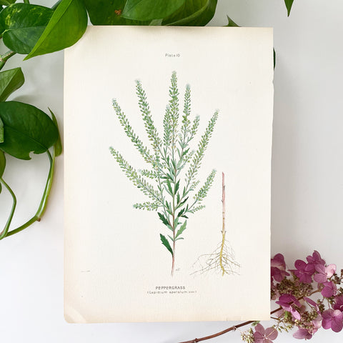 Farm Weeds 1906 Botanical Book Plate 10