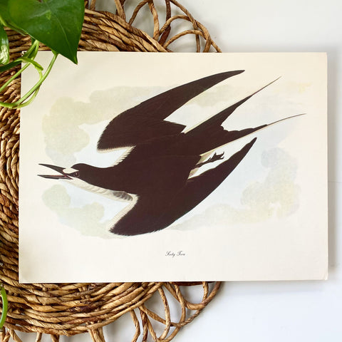 Sooty Tern Bookplate