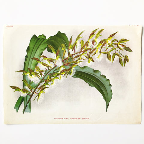 Antique Book Plate Catasetum Barbatum Lindl. var. Spinosum