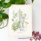 Farm Weeds 1906 Botanical Book Plate 4