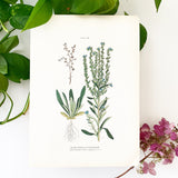 Farm Weeds 1906 Botanical Book Plate 36