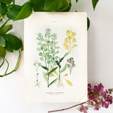 Farm Weeds 1906 Botanical Book Plate 9