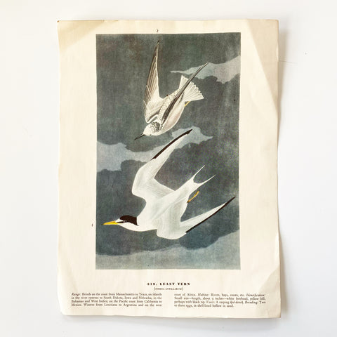 Least Tern Audobon Bookplate