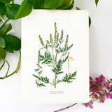 Farm Weeds 1906 Botanical Book Plate 24