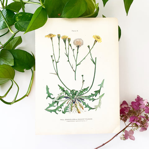 Farm Weeds 1906 Botanical Book Plate 31