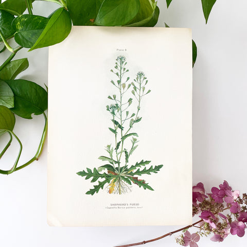 Farm Weeds 1906 Botanical Book Plate 8