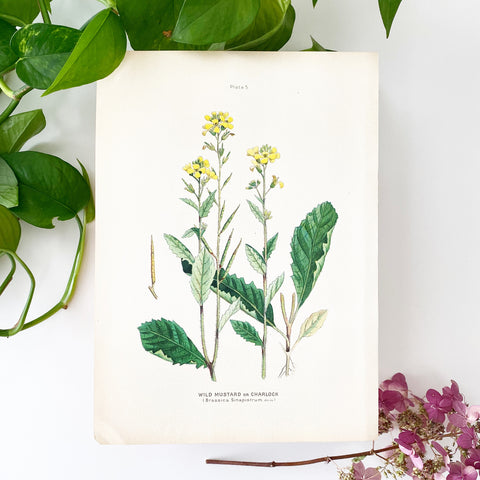 Farm Weeds 1906 Botanical Book Plate 5