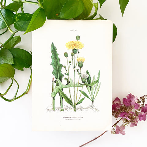 Farm Weeds 1906 Botanical Book Plate 34