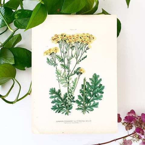 Farm Weeds 1906 Botanical Book Plate 28