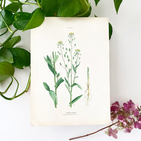 Farm Weeds 1906 Botanical Book Plate 6