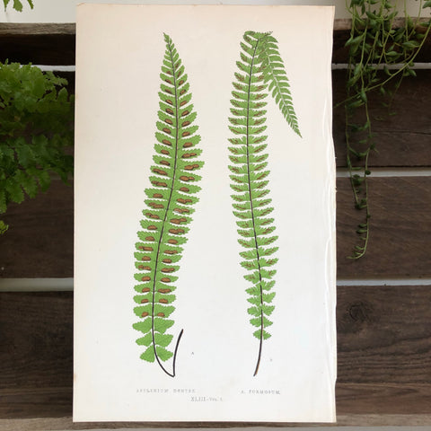 Asplenium Dentex and A. Formosum Botanical Engraving