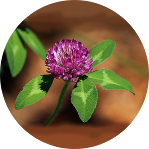 Red Clover Tincture [4 oz.]