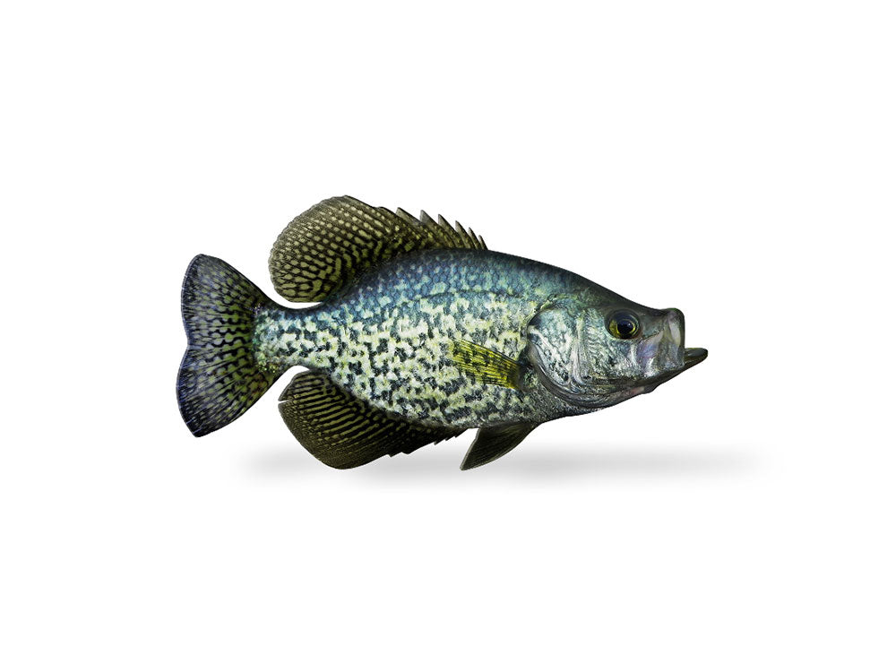 Black Crappie | Black Crappie Decal Boat Truck Fish Sticker Fishindecals
