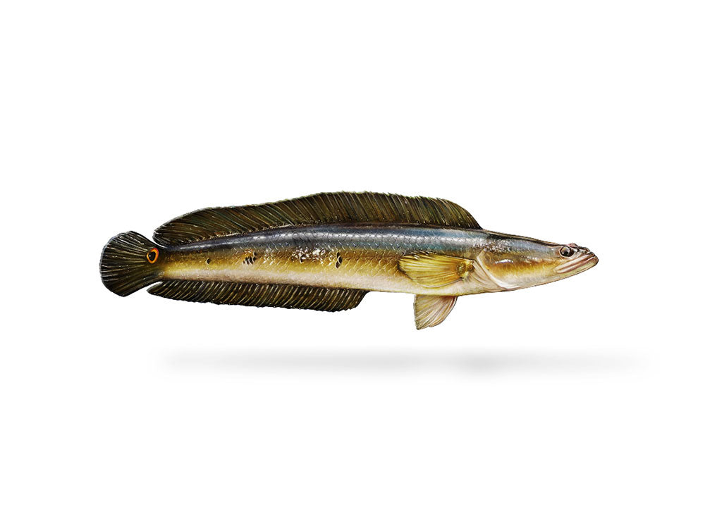 Bullseye Snakehead Decal