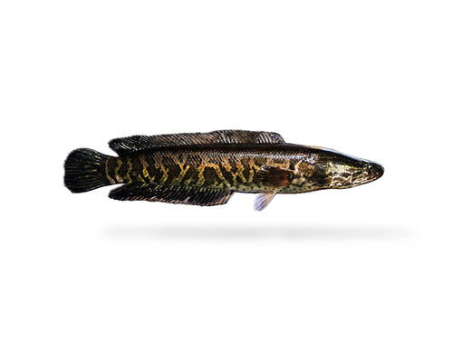 Northern Snakehead Decal