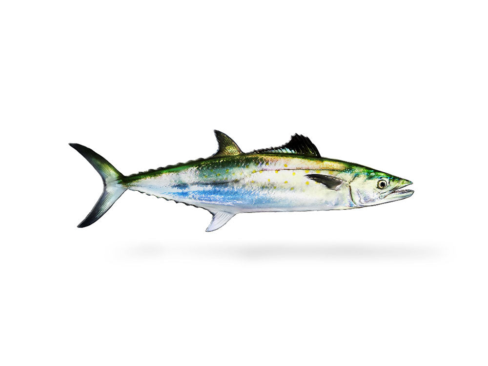 Spanish Mackerel Decal