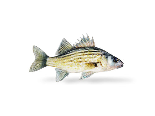 Yellow Bass Decal