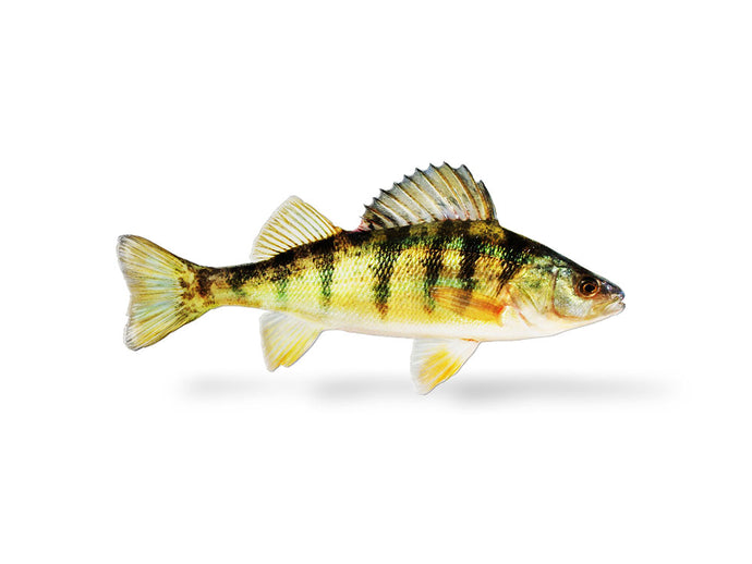 Yellow Perch Decal