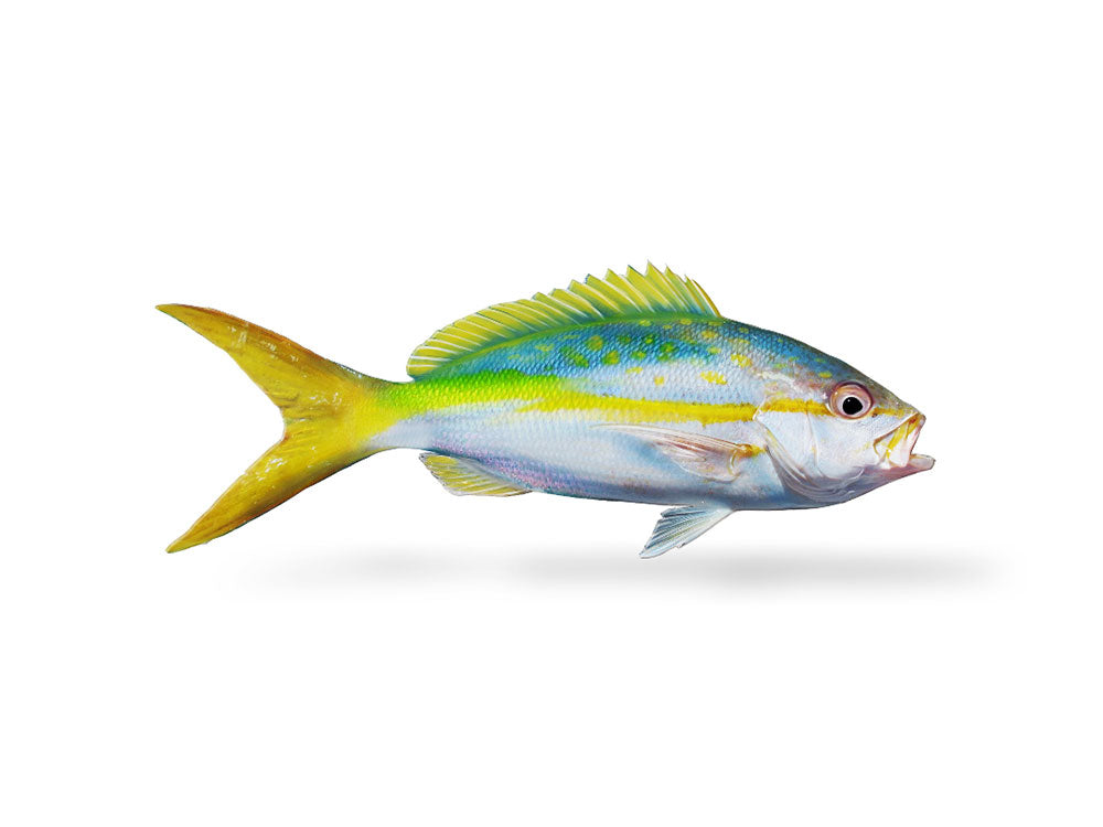 Yellowtail Snapper Decal