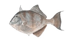 obx fishing charters trigger fish