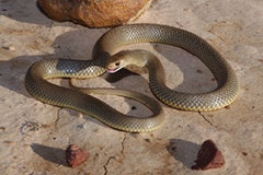 Top 10 Venomous Snakes in Australia... Including Signs and Symptoms