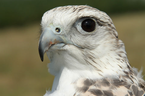 aurum - gyrfalcon closeup eye