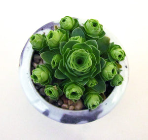 Aeonium aureum (also known as greenovia aurea/aureum) 'green rose buds' 山地玫瑰