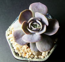 Echeveria andrew's choice/blue surprise single head 蓝色惊喜 单头