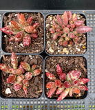 Adromischus filicaulis red spotted