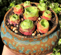Aeonium Guarimiar rose bud