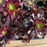 Aeonium chocolate LARGE