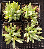 Cotyledon white peach
