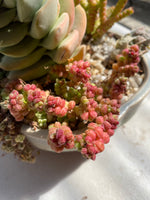 Crassula elegans warty form