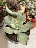 Echeveria Jippon Moon River