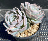 Echeveria big blue