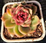 Echeveria black rose