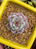 Echeveria red velvet