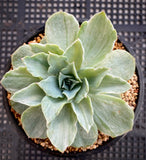 Echeveria silver queen silk variegation