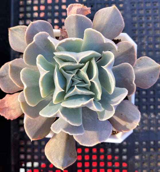 Echeveria swan lake