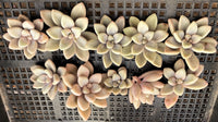 Graptopetalum Ellen