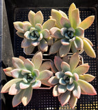 Graptoveria Opalina SMALL