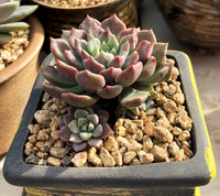 Graptoveria rapeco