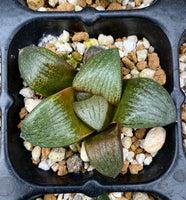 Haworthia emelyae seed grown