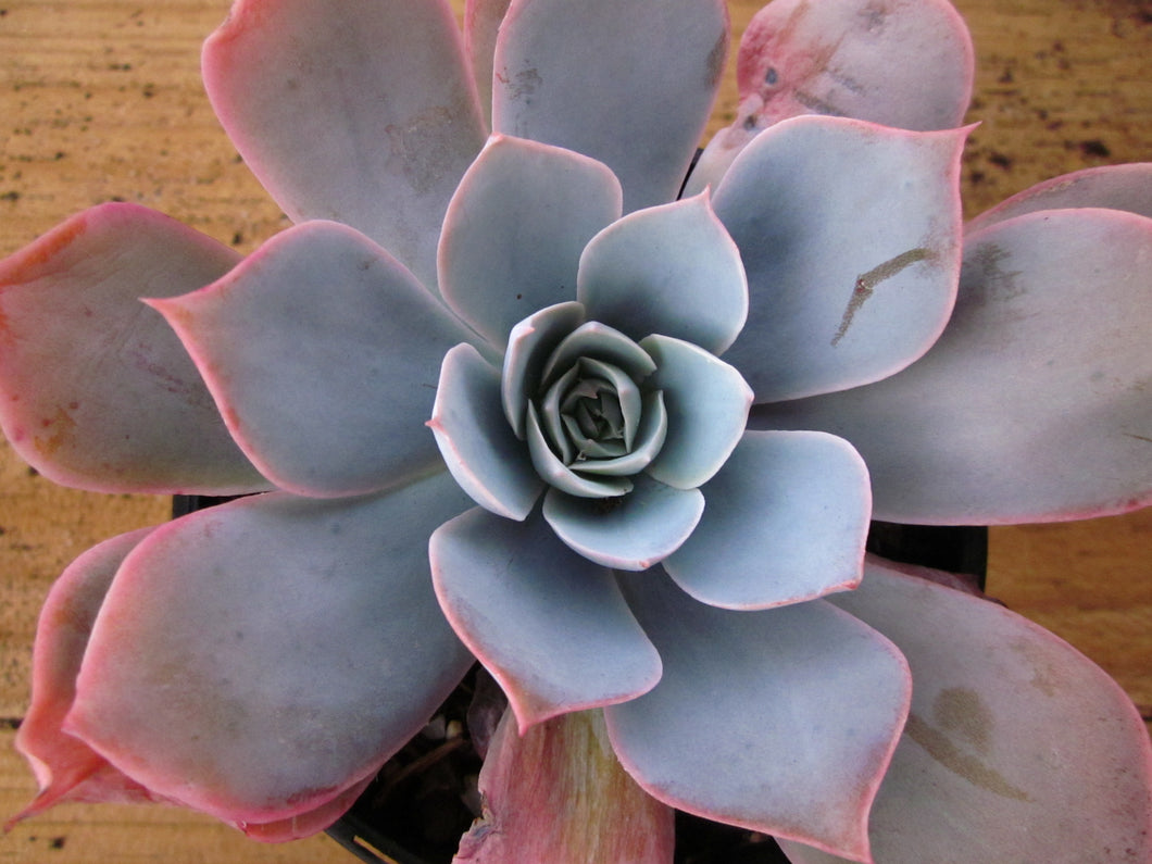 Echeveria Domingo 多明戈