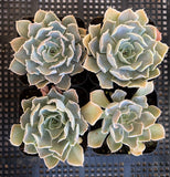 Echeveria 'time out'