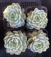 Echeveria 'rasberry ice'