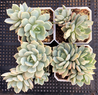 Graptoveria moonglow